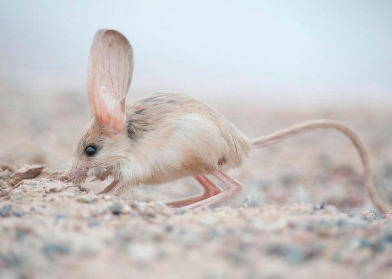 Животное тушканчик: виды, фото, образ жизни, интересные факты, размеры, повадки