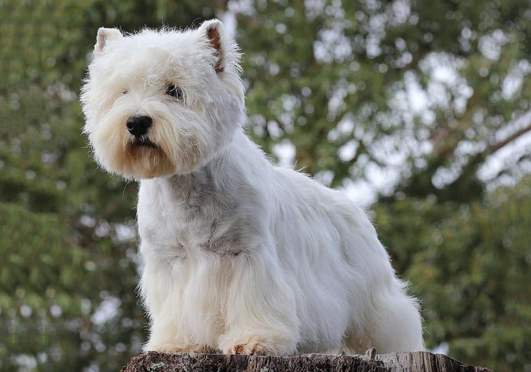 Вест хайленд уайт терьер: характеристика породы и особенности содержания собаки в квартире