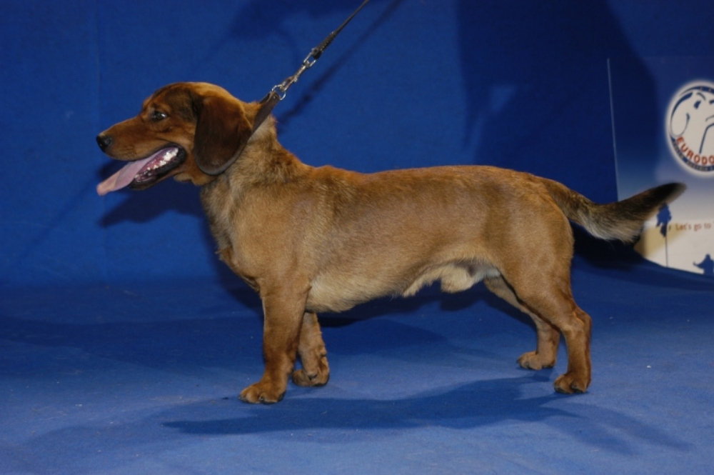 Альпийская таксообразная гончая: описание породы, фото собак