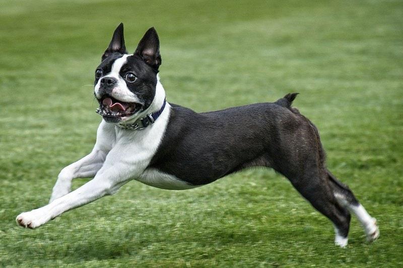 Маленькие породы собак для квартиры - названия и фото (каталог)