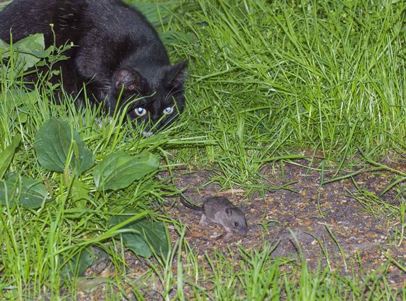 Описание пород котов, которые лучше ловят мышей и крыс