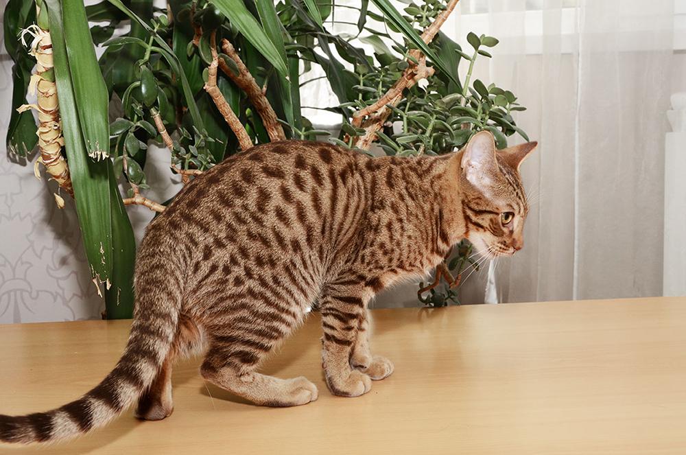 Оцикет: фото породы кошек и цена котенка. особенности характера, содержания и разведения породы оцикет
