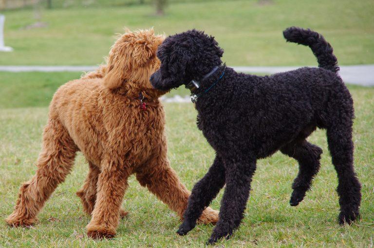 Породы больших собак с кудрявой шерстью