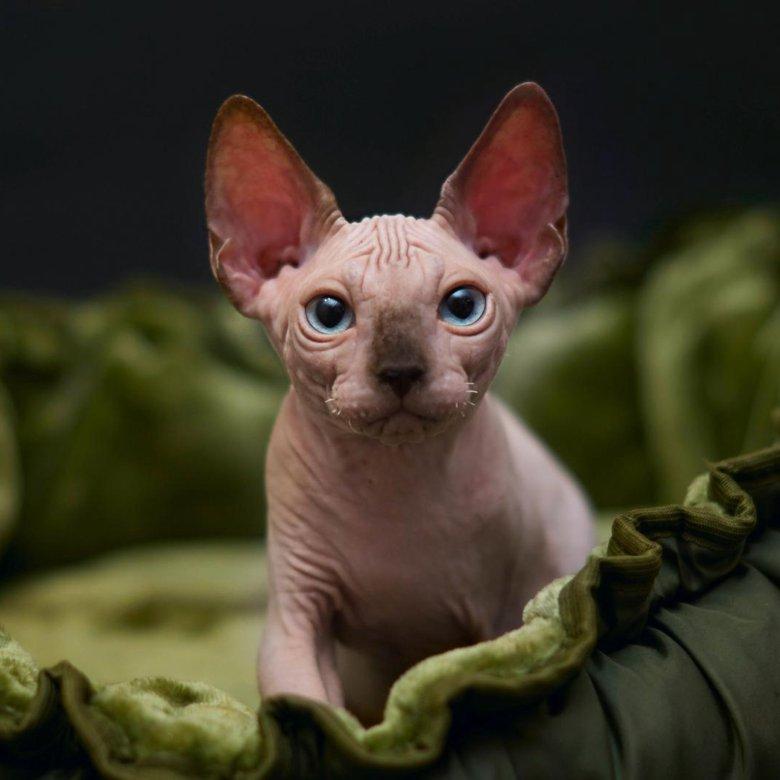 Характеристика канадского сфинкса: фото и описание представителей породы, характер кошки, особенности содержания