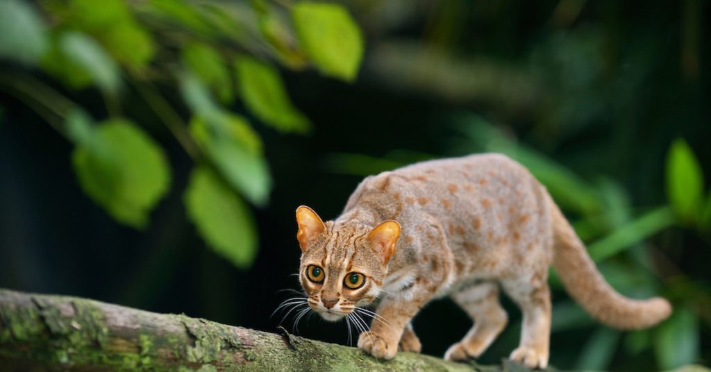 Чем примечательна самая маленькая кошка, и трудно ли о ней заботиться - мир кошек