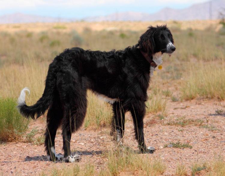 Тайган (киргизская борзая): характеристики породы собаки, фото, характер, правила ухода и содержания - petstory