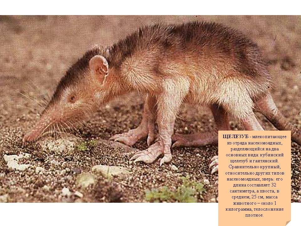 Щелезуб: ядовитая крыса, которой скоро не станет
