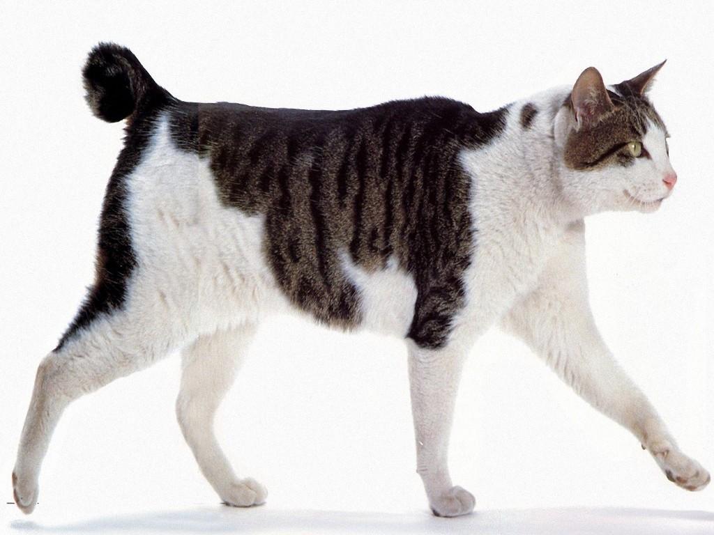 Бобтейл: описание породы, характер собаки и щенка, фото, цена