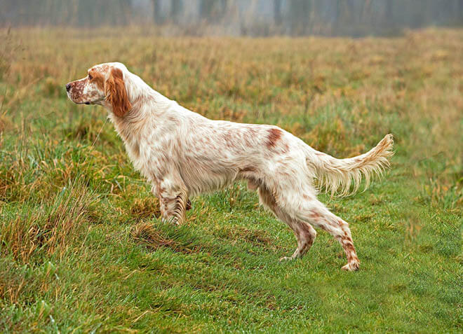 Все разновидности породы собак сеттер с фото