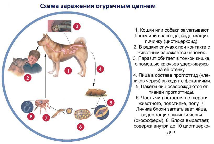 Пироплазмоз у кошек: симптомы и лечение болезни