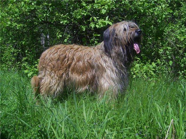 Голландская овчарка (хердер) — фото, описание породы и особенности содержания собаки