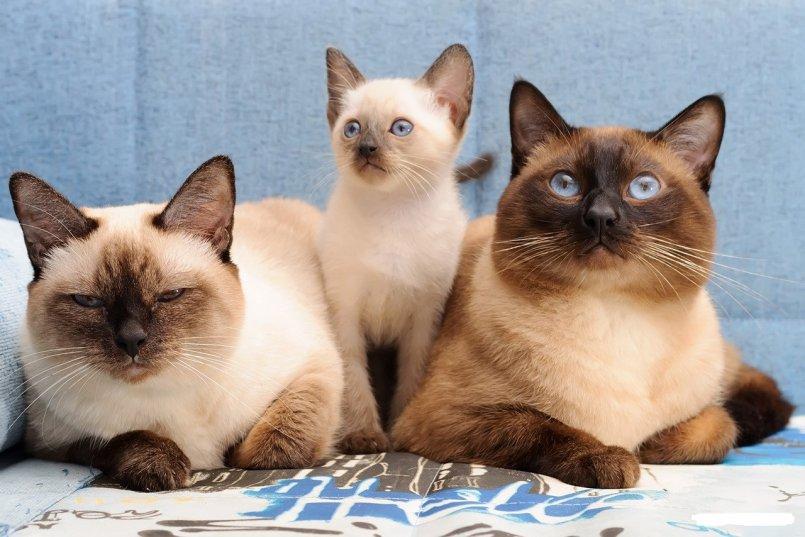 Тайская кошка: описание породы и характер, содержание, чем кормить, окрасы, фото | zoosecrets