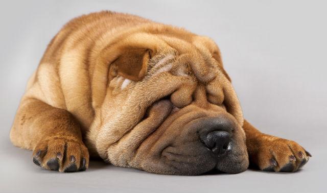 Сколько живет собака породы метис