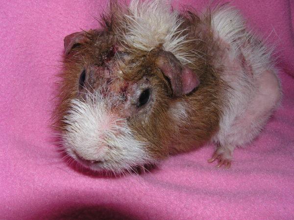 Свинка. эпидемический паротит: симптомы, возможные осложнения. лечение эпидемического паротита