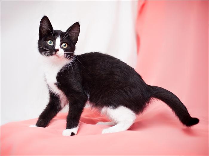 Биколоры и партиколоры в окрасах кошек: стандарты и комбинации цветов