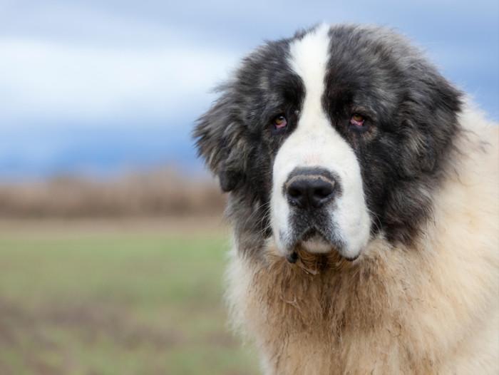 Английский мастиф (фото): рекомендации по воспитанию, дрессировке. история породы, рост и вес одной из самых больших собак
