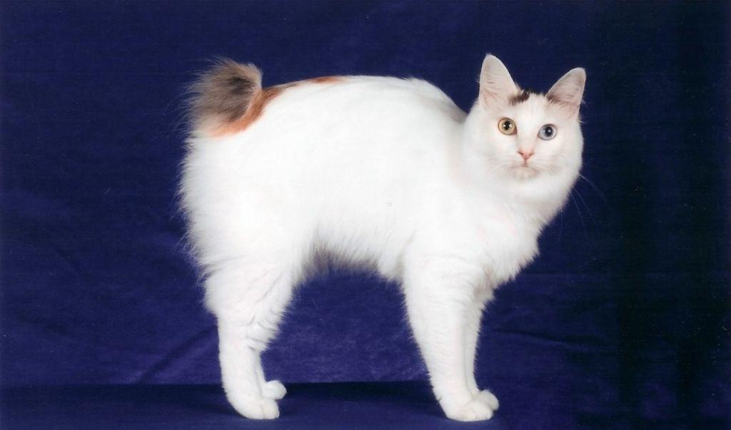 Японский бобтейл кошка: фото, описание породы, отзывы