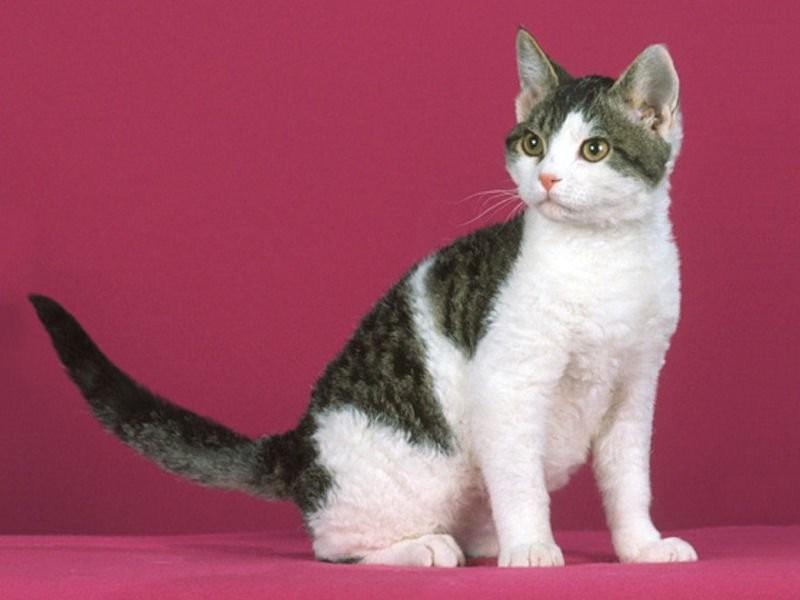 Американская жесткошерстная кошка: фото, описание породы, характера