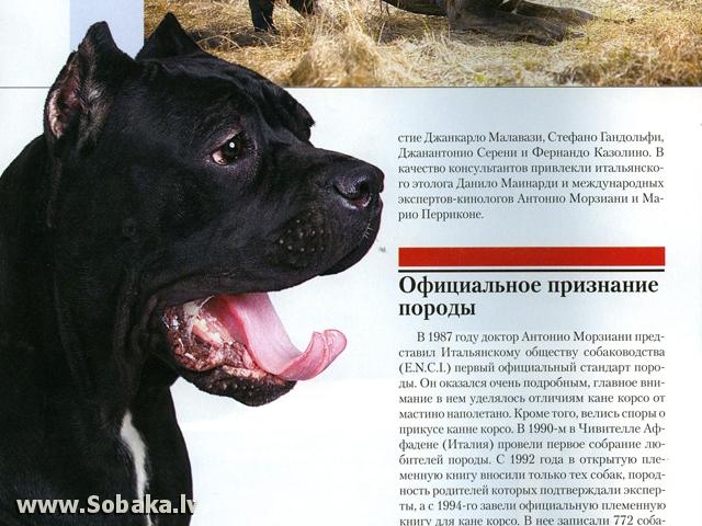 Кане-корсо: преданная, умная, бесстрашная, обладающая высокими охранными качествами собака