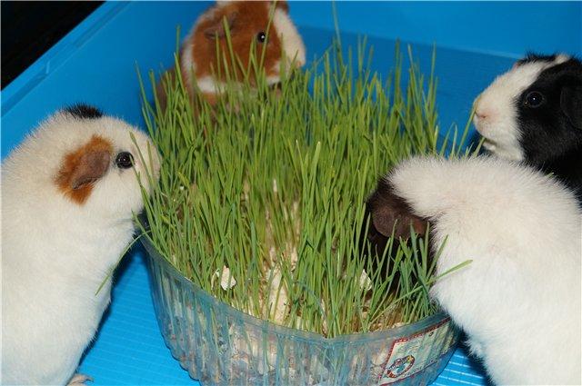 Можно ли морской свинке кабачок, капусту, свеклу, траву, орехи: какие растительные продукты должны быть в рационе