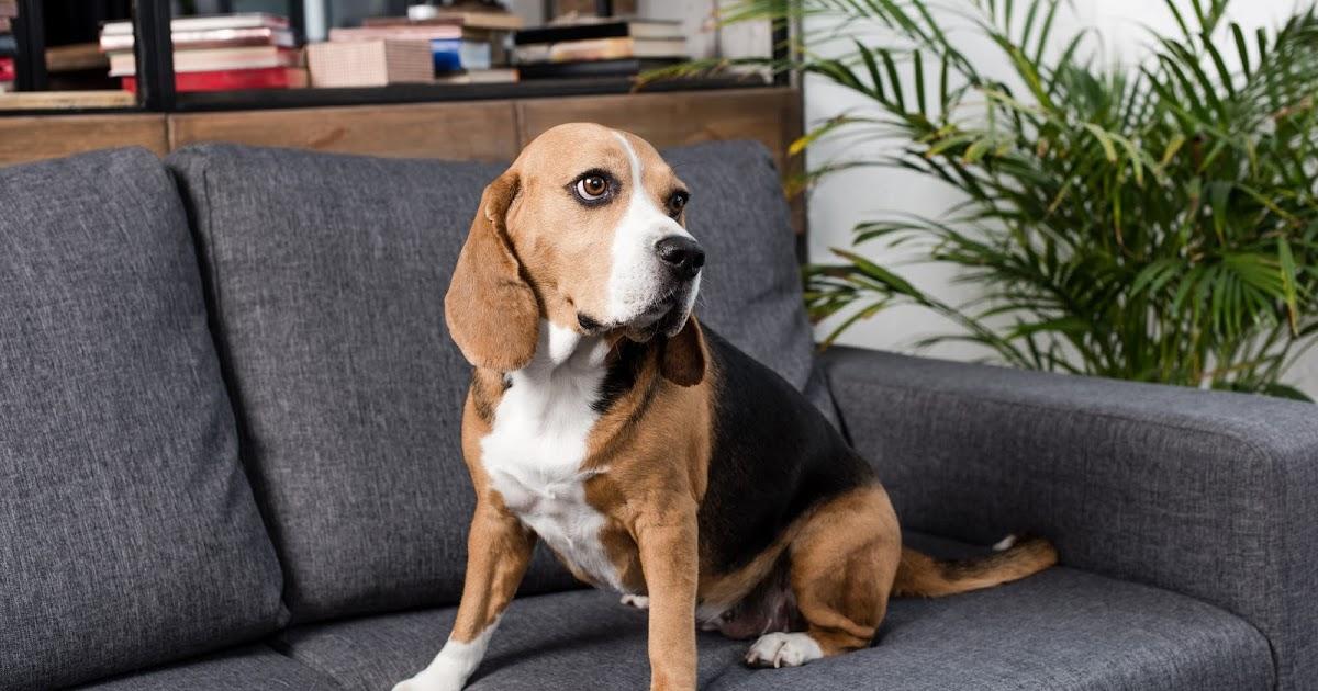 Бигль — уход и содержание в квартире, выбор щенка и продолжительность жизни