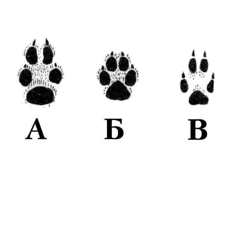 След волка: как отличить от следов собаки и в чем разница