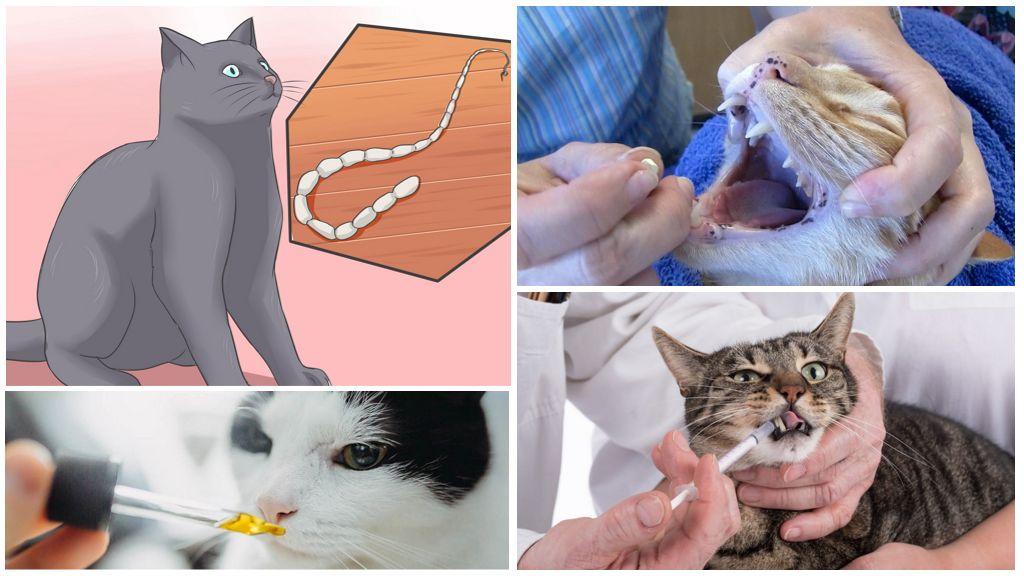 Глисты у кошек — основные симптомы, способы лечения и лучшие препараты 2019 года (135 фото + видео)