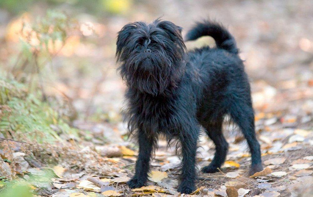 Аффенпинчер — особенности ухода, описание собаки и характер присущий породе (125 фото)