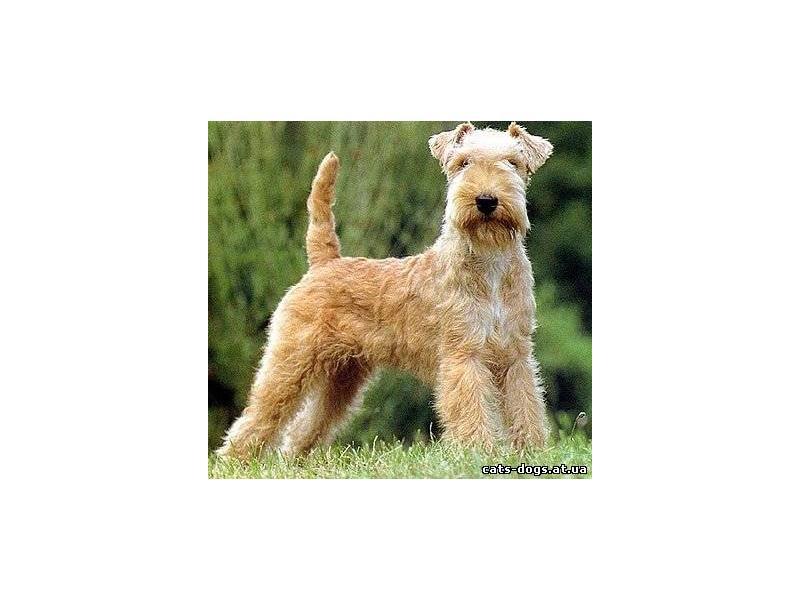 Лейкленд-терьер lakeland terrier . стандарт породы. содержание, кормление, уход за шестью, зубами, когтями, подготовка к выставке, вязка. фото.