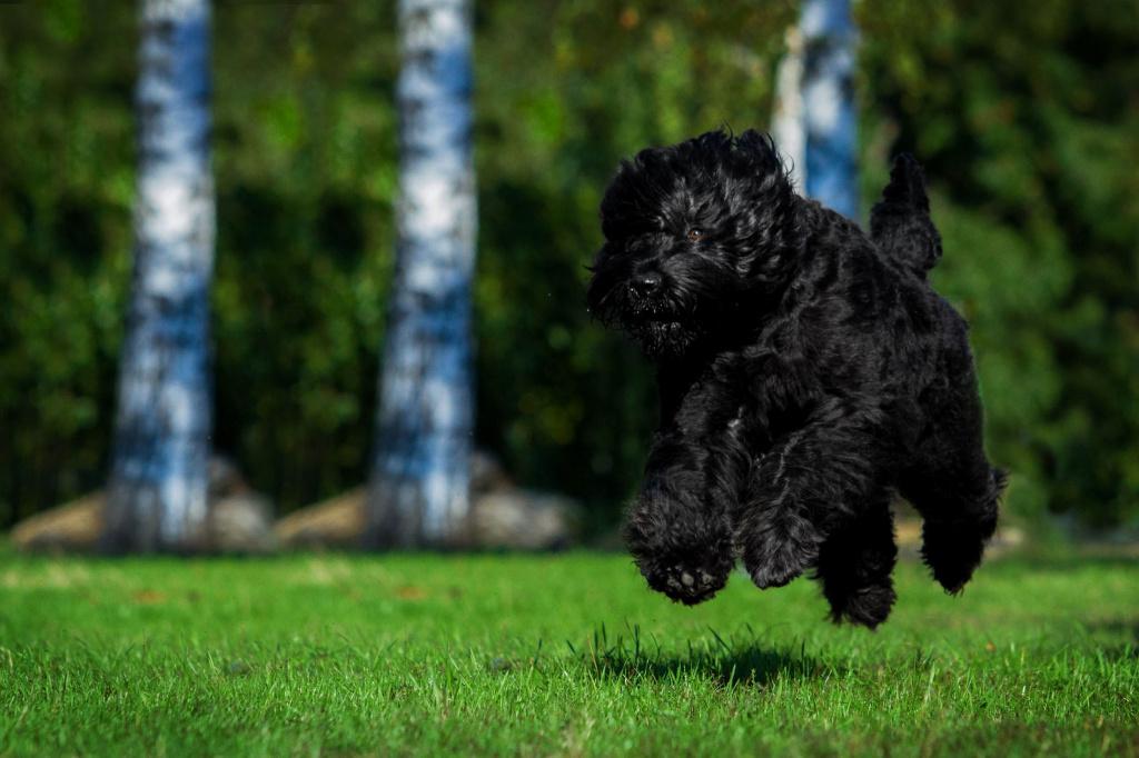 Русский черный терьер: описание породы, характер собаки и щенка, фото, цена