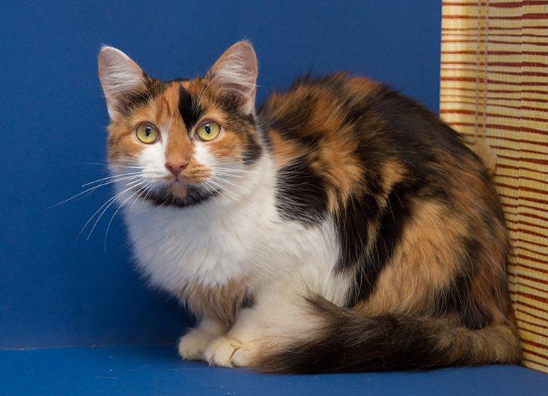 Трехцветная кошка в доме: породы, особенности, приметы | строительство домов на юге