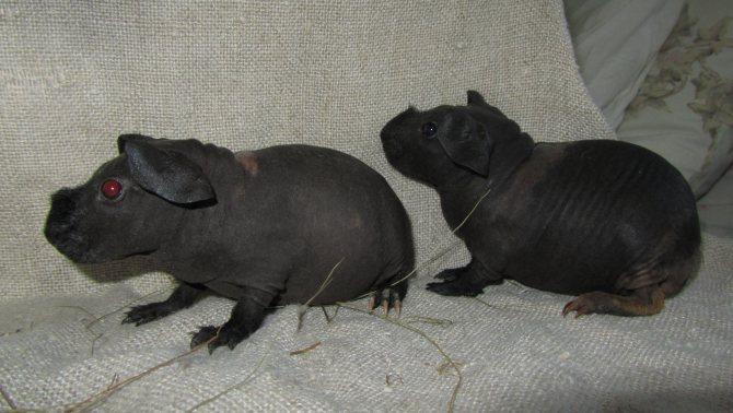 Морская свинка английский селф: описание, характер, размеры, отзывы и фото
