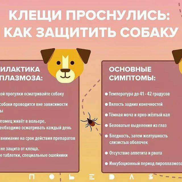 Пироплазмоз у собак – городская ветеринарная лаборатория (горветлаб)