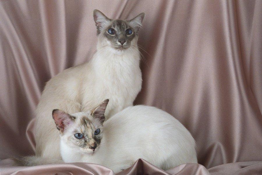 Кошка балинез: особенности и фото балинезийской породы, характер и внешность кота, уход и содержание питомца