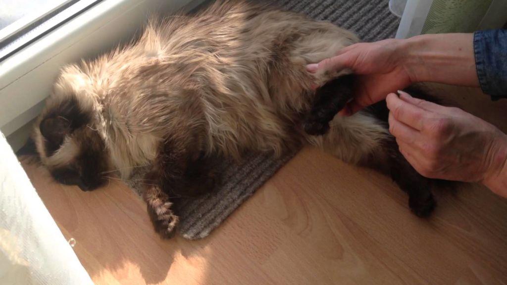 Перелом у кошек: симптомы, признаки, первая помощь и лечение