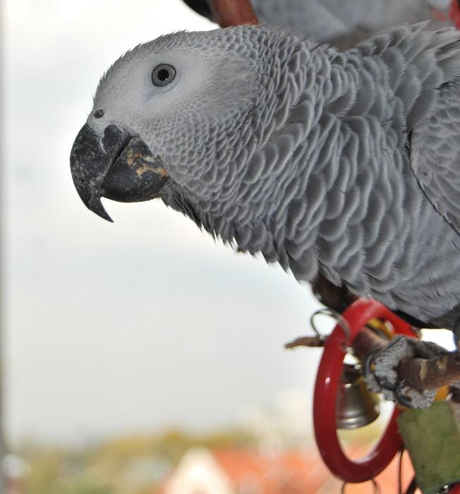 Попугай жако: уход и содержание в домашних условиях, породы серого африканского попугая