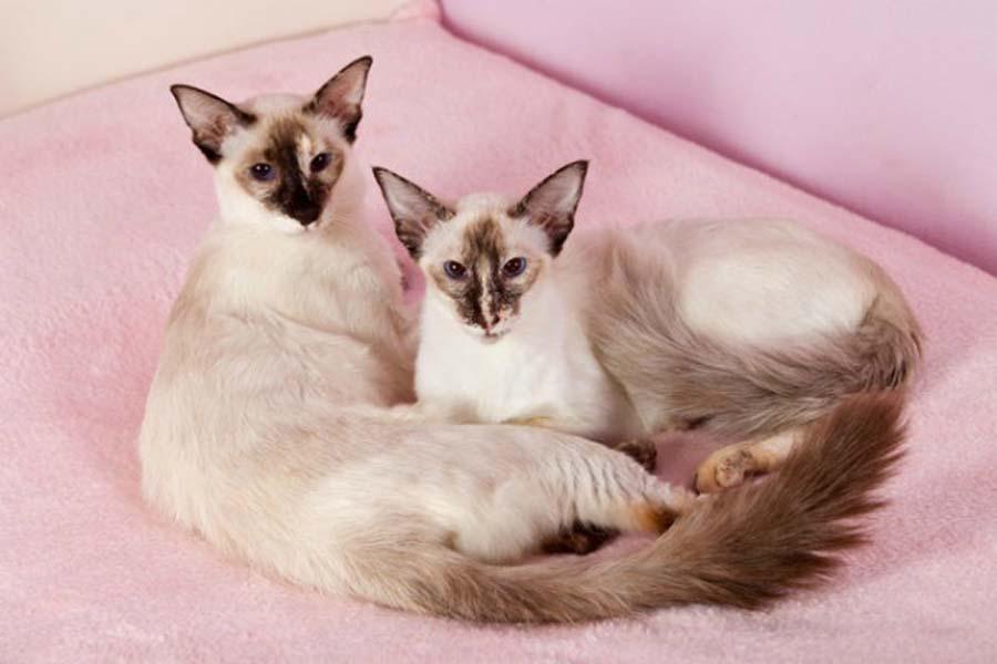 Балинезийская кошка – порода произошла от сиамской, фото, характер и стоимость