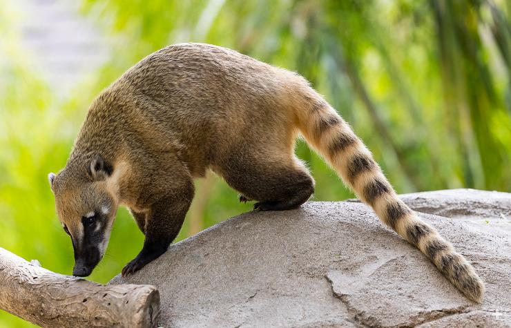 Носуха животное. образ жизни и среда обитания носухи