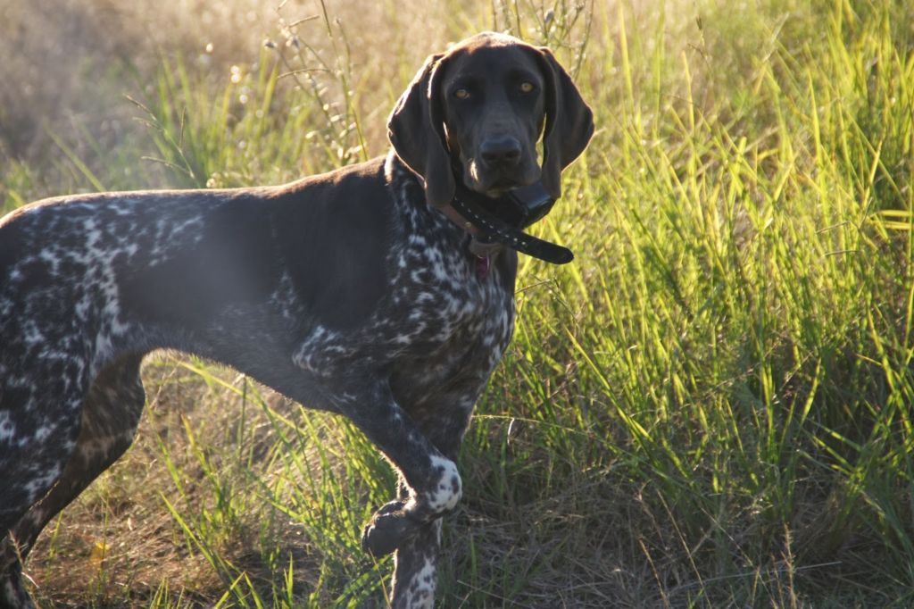 Курцхаар: описание охотничьей породы собак, советы по уходу и содержанию