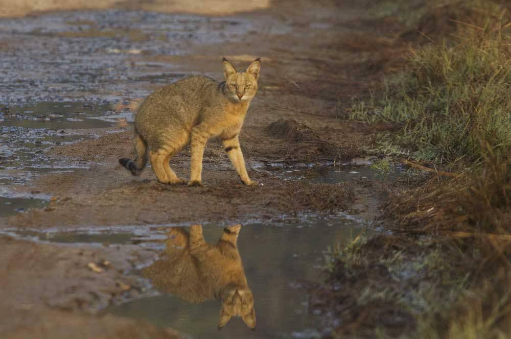 Камышовый кот: описание, описание, где обитает, чем питается