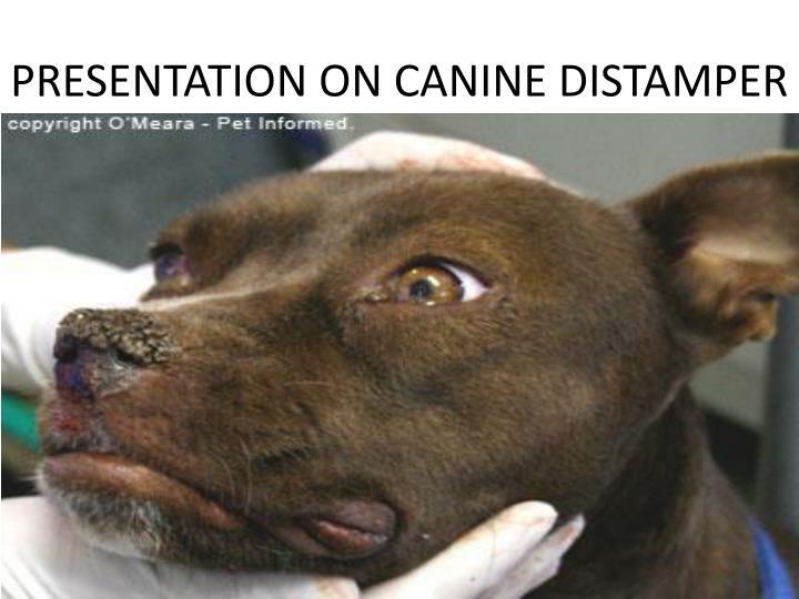 Чума плотоядных (чумка) у собак