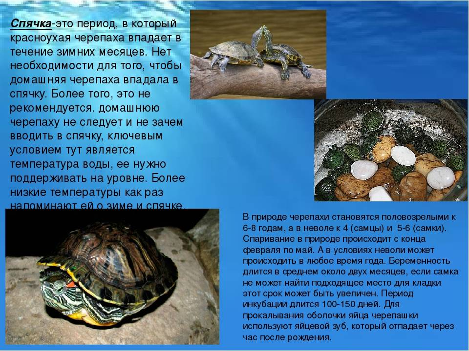 Красноухая черепаха зимой впадает спячку дома