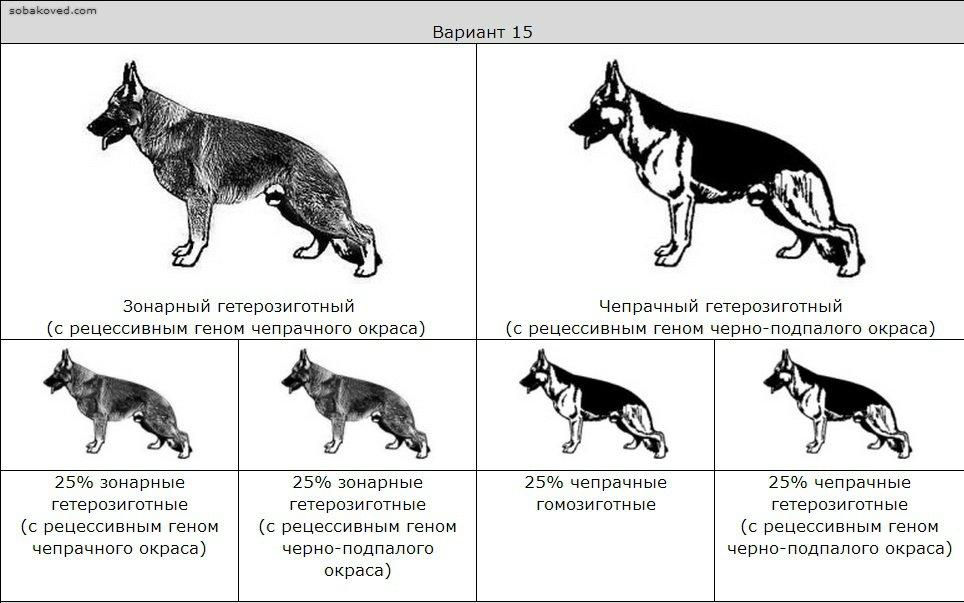 Разница между немецкой овчаркой и восточно-европейским собратом: какая лучше
