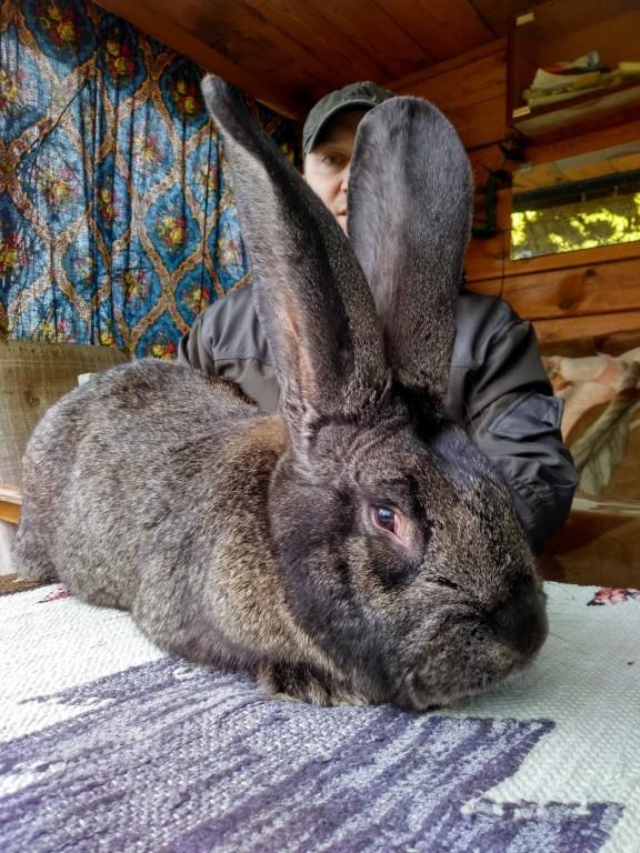Кролики породы фландр: разведение и содержание в домашних условиях