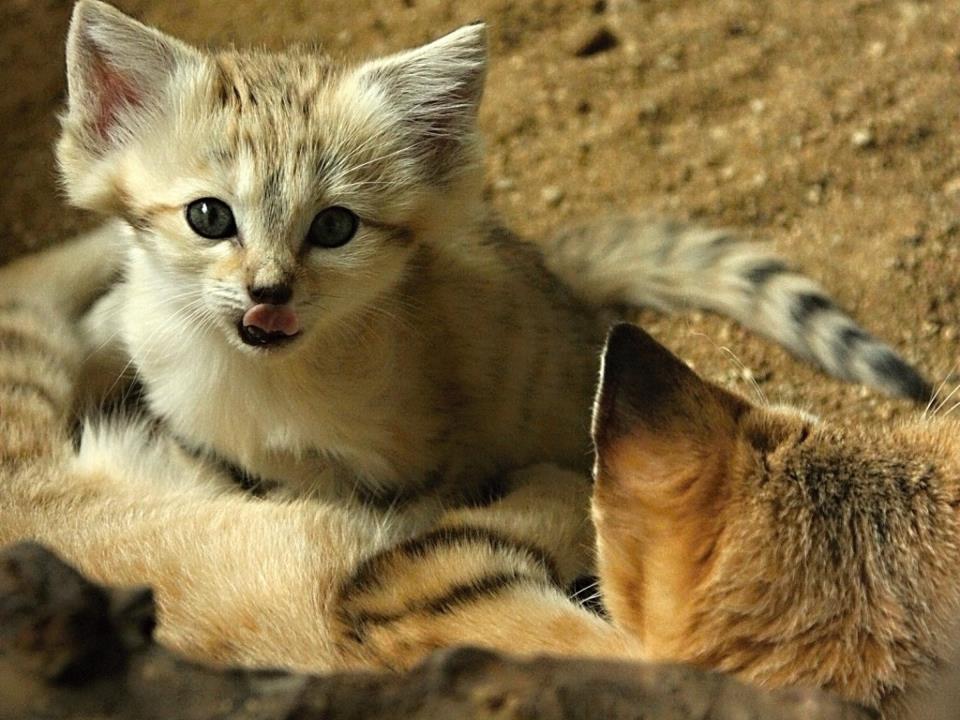 Барханный кот: особенности жизни в природе и домашних условиях