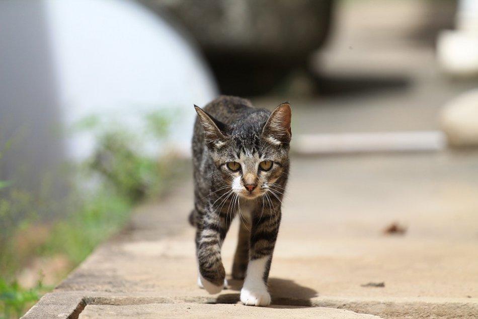 Кот ходит и мяукает без причины: что делать?