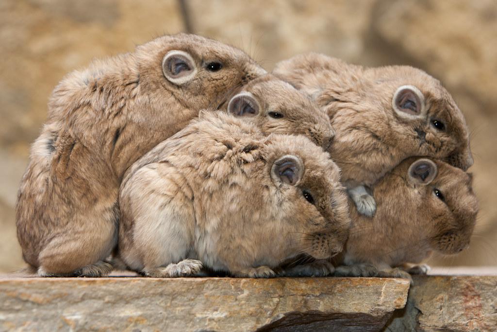 Виды домашних грызунов - питомцев списком с фото и названиями
