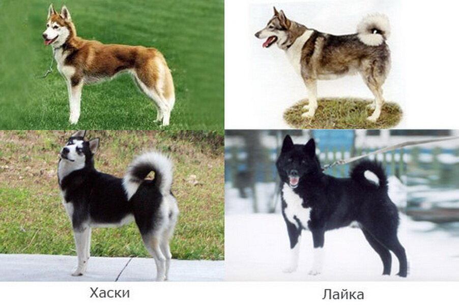 Какая разница между сибирским хаски и восточно-сибирской лайкой?
