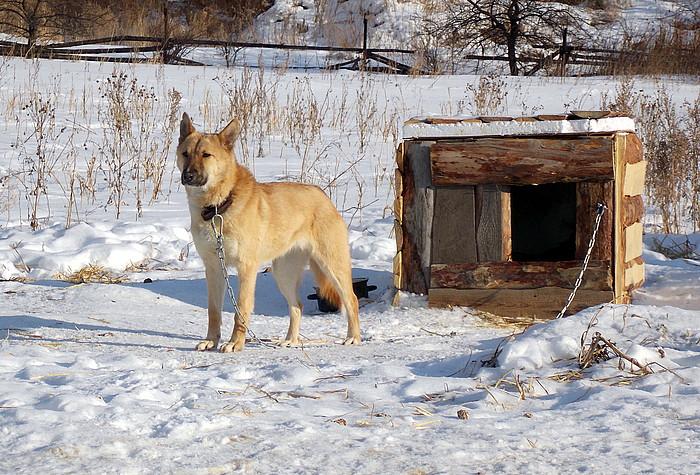 Лучшие сторожевые породы: рейтинг собак для охраны частного дома