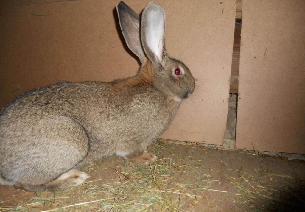 Кролики фландр